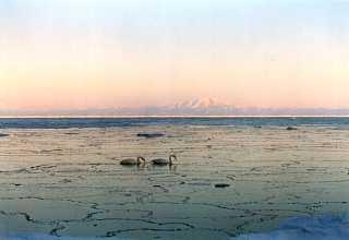 氷結し始めた海と白鳥(網走二つ岩)